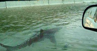 Shark Terrorizing Houston Floodwater Proves to Be Fake News