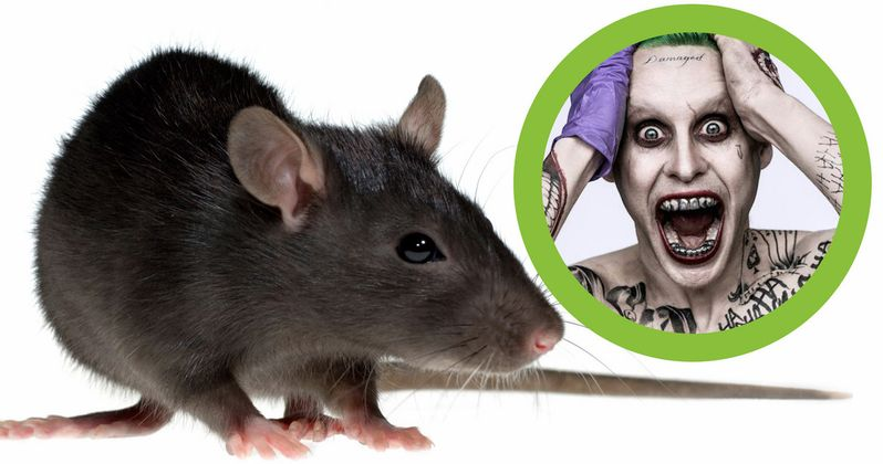 Leto's Suicide Squad Rat Was Adopted by This Famous Director