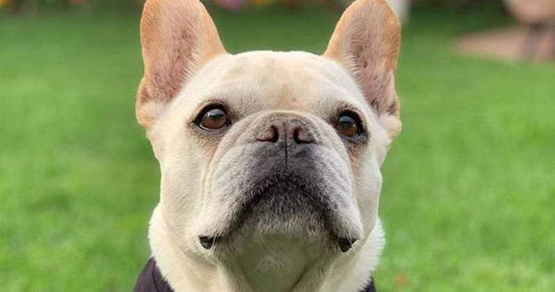 Bruley, the French Bulldog from Queer Eye on Netflix, Dies at 10 Years Old