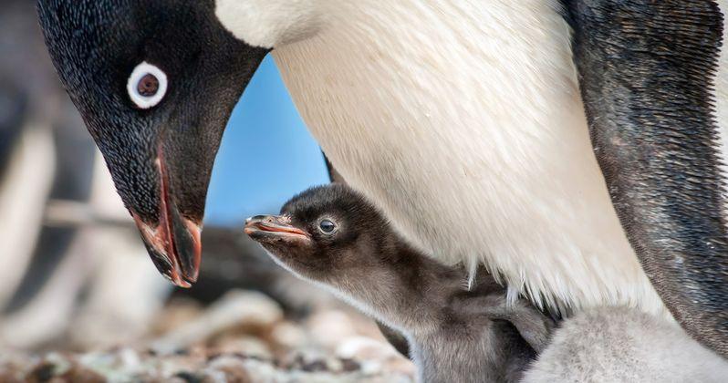 Penguins Trailer #2 Follows Disneynature's Real-Life Journey of Steve the Penguin