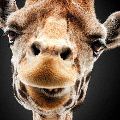 The Hangover Part III Giraffe Poster