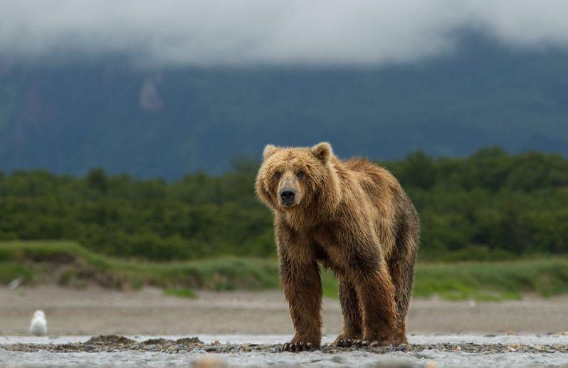 <strong><em>Bears</em></strong> Photo 2