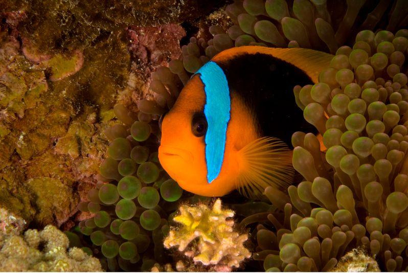 Clownfish Noumea