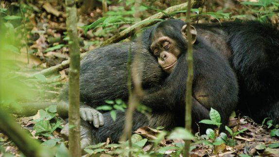 <strong><em>Chimpanzee</em></strong> Photo #2